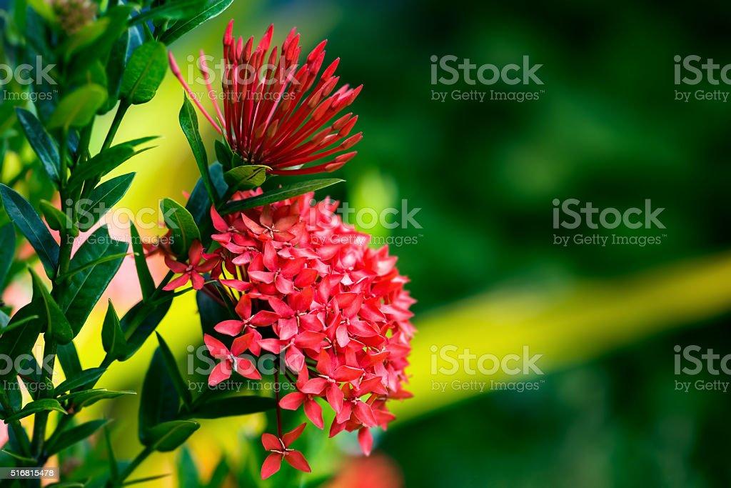 Ixora coccinea tropical flower Trinidad and Tobago gardening stock photo