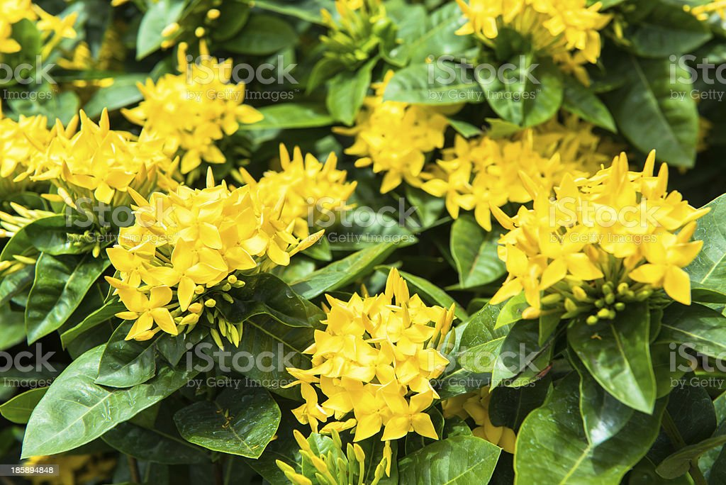 Ixora flower in garden royalty-free stock photo