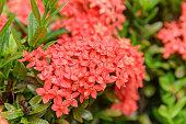 ixora flower on plant in garden, rubiaceae flower