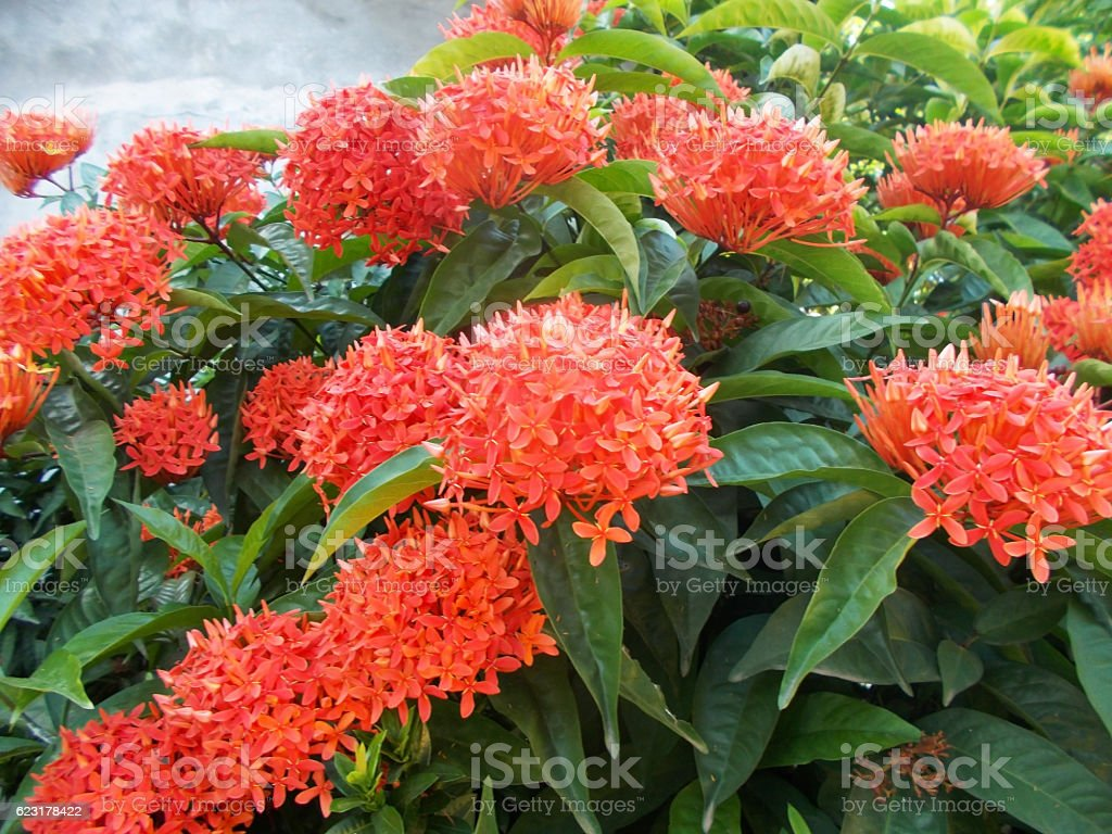 Ixora javanica flower on the tree stock photo