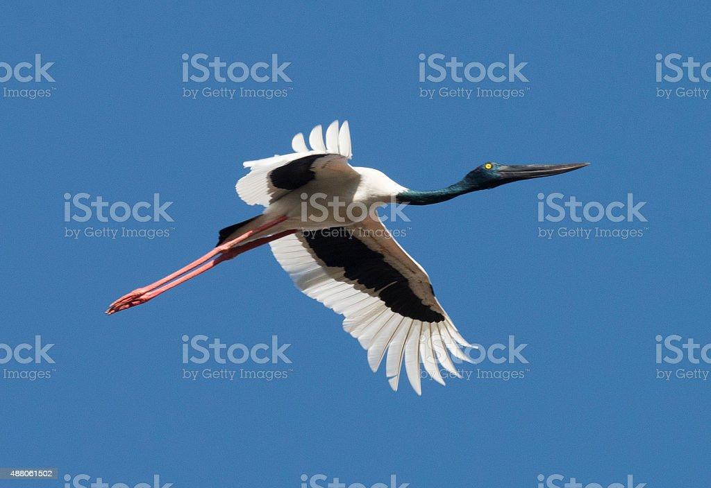 Jabiru in flight stock photo