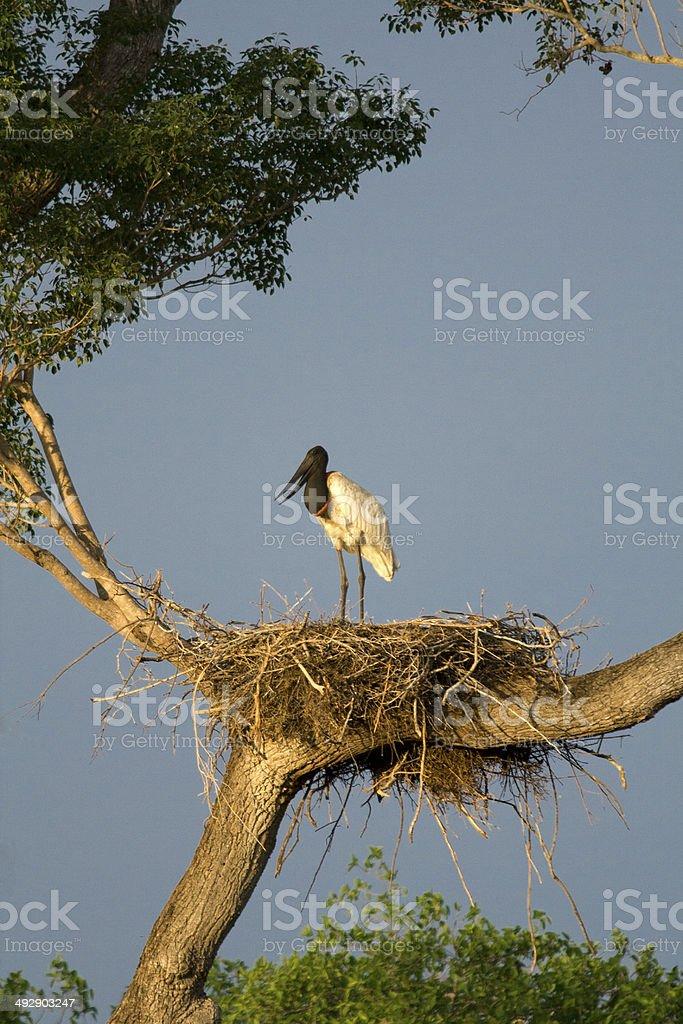 Jabiru on the nest, Pantanal, Brazil. stock photo