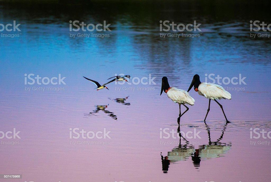 Jabiru stork couple and Skimmer couple on the lake stock photo