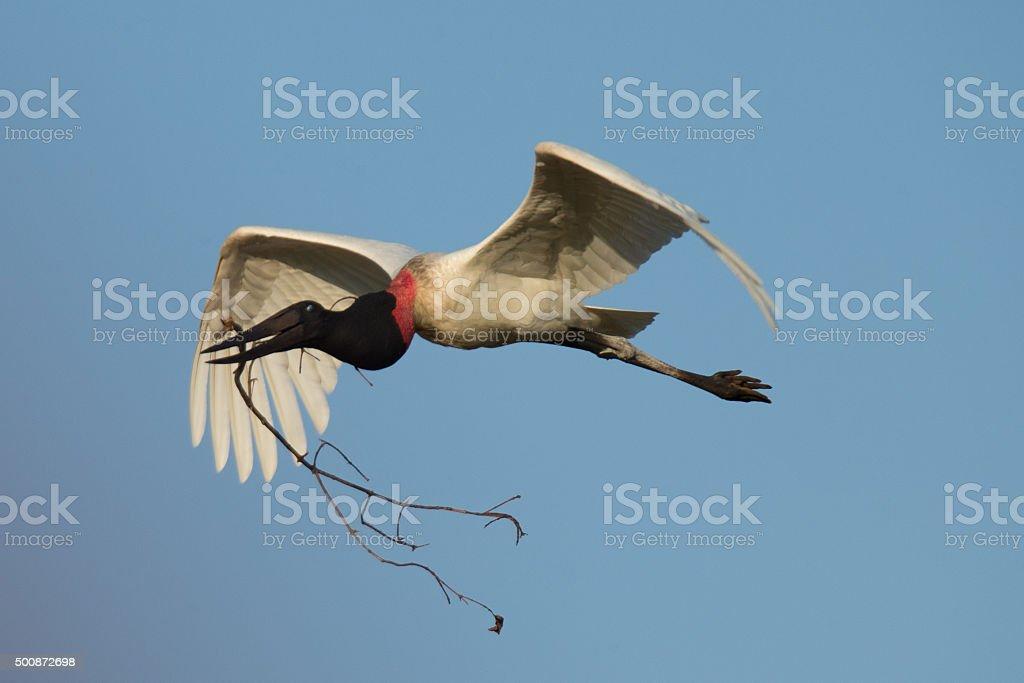 Jabiru stork flying to the nest Pantanal Brazil stock photo