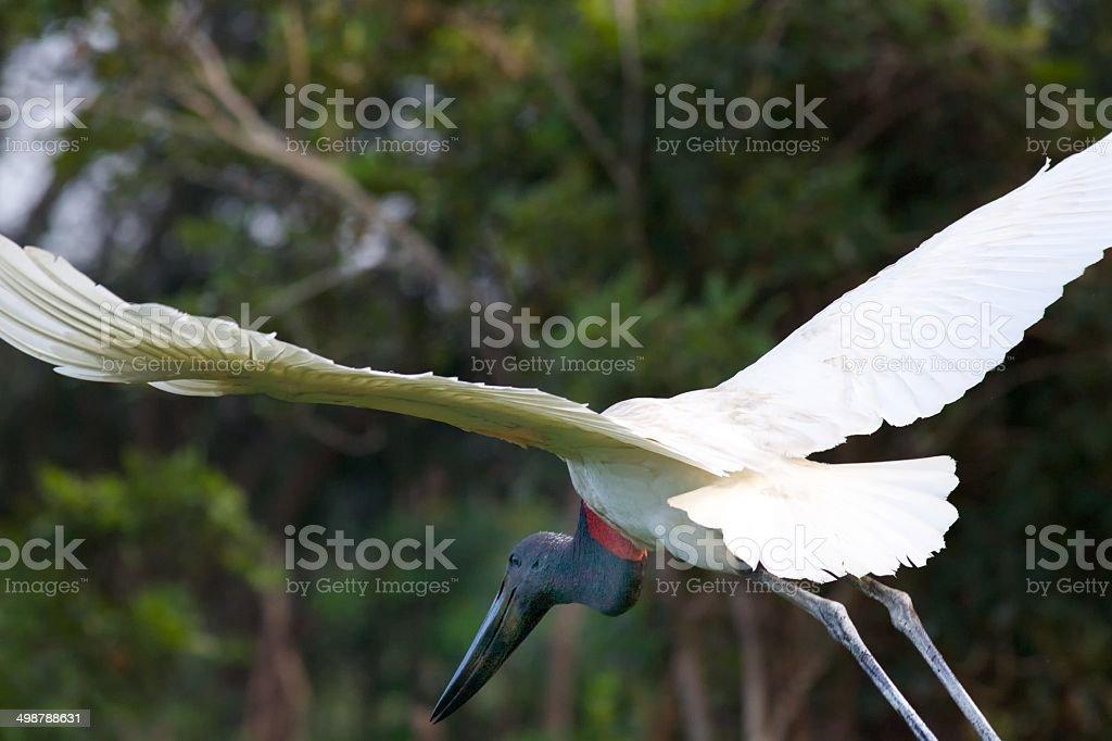 Jabiru Stork in Flight stock photo