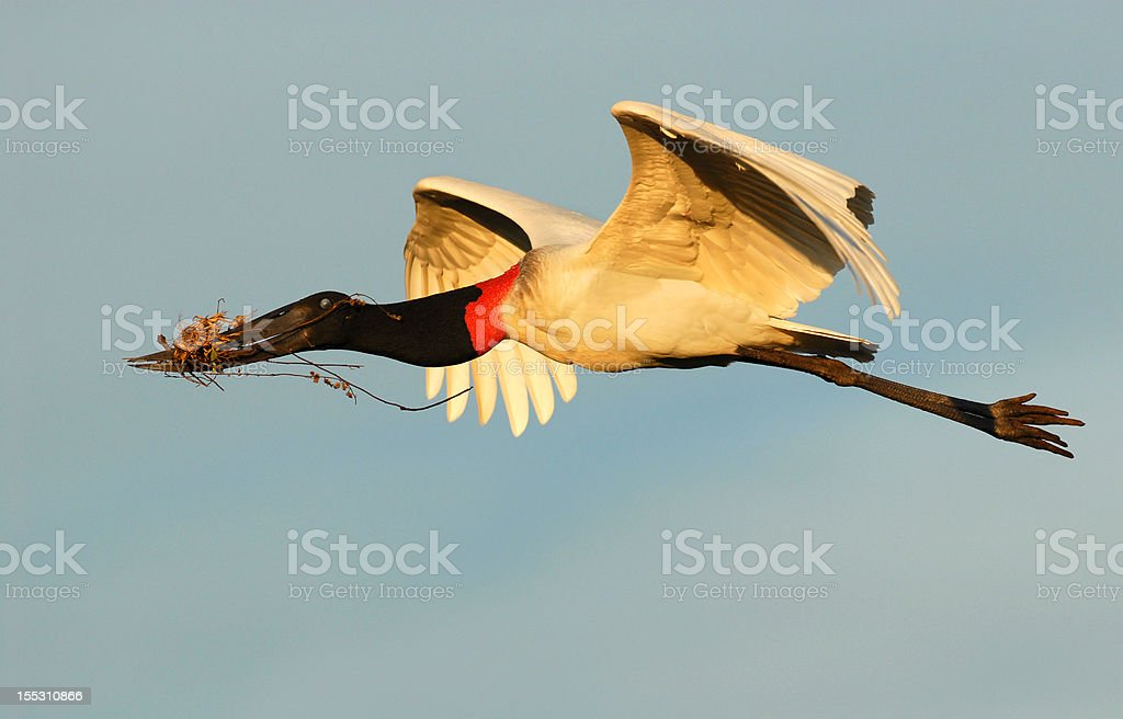 Jabiru stork in flight with nest material stock photo