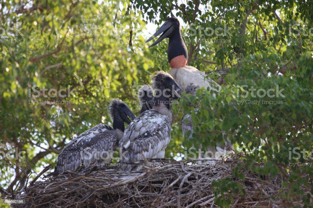Jabiru stork nest, mother and babies stock photo