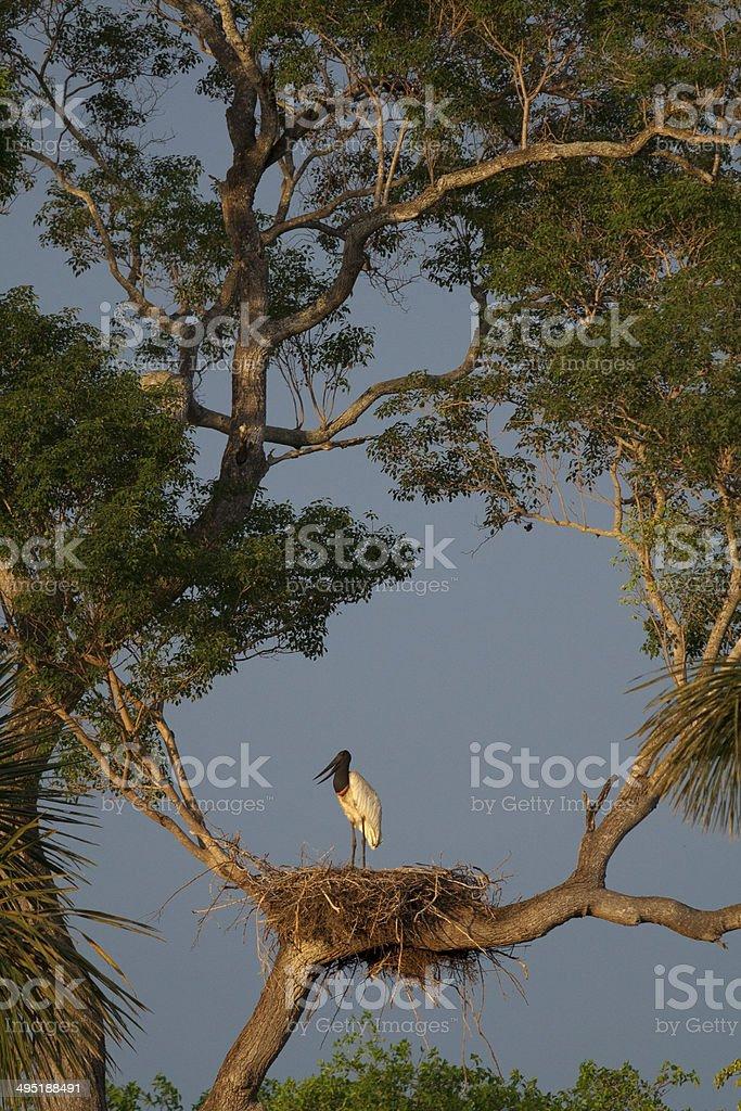 Jabiru stork on the nest in Pantanal, Brazil. stock photo