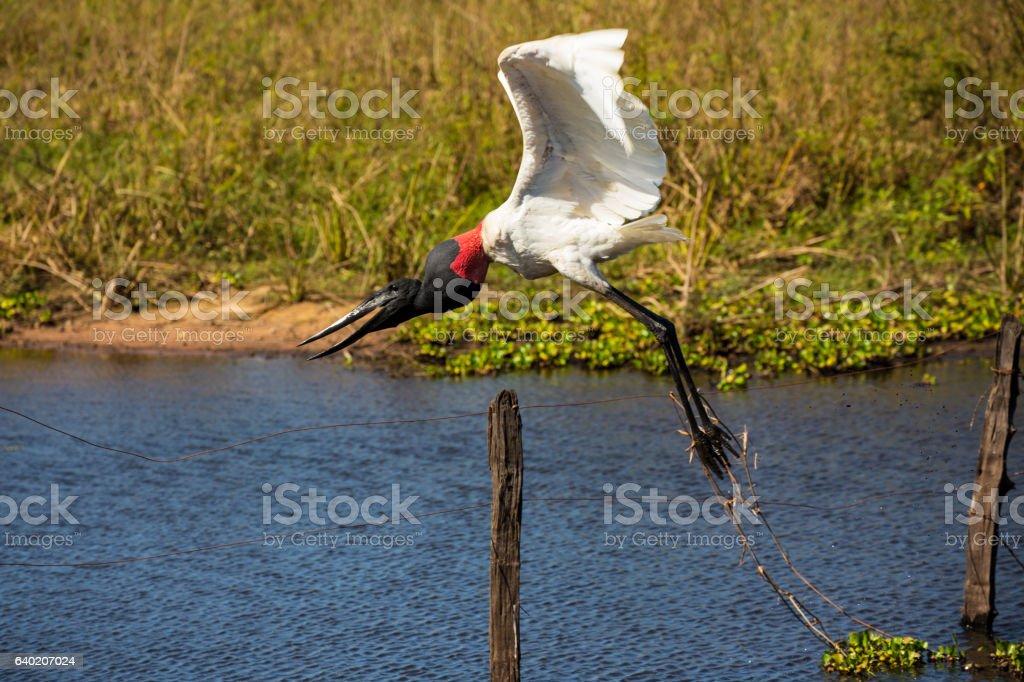 Jabiru Storks in Pantanal, Mato Grosso, Brazil stock photo