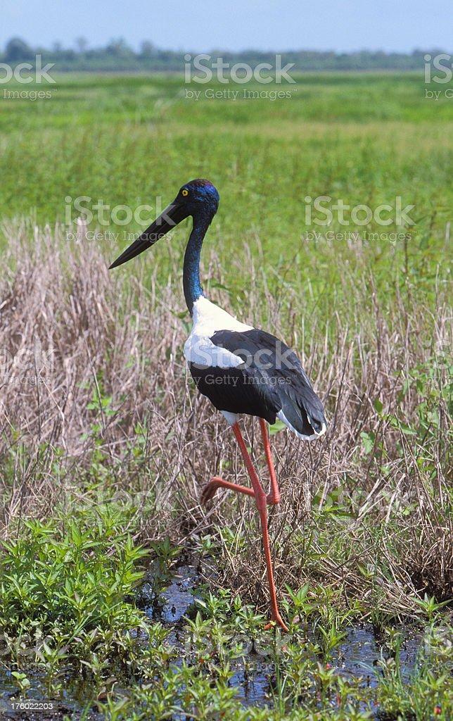 Jabiru striding in wetlands stock photo