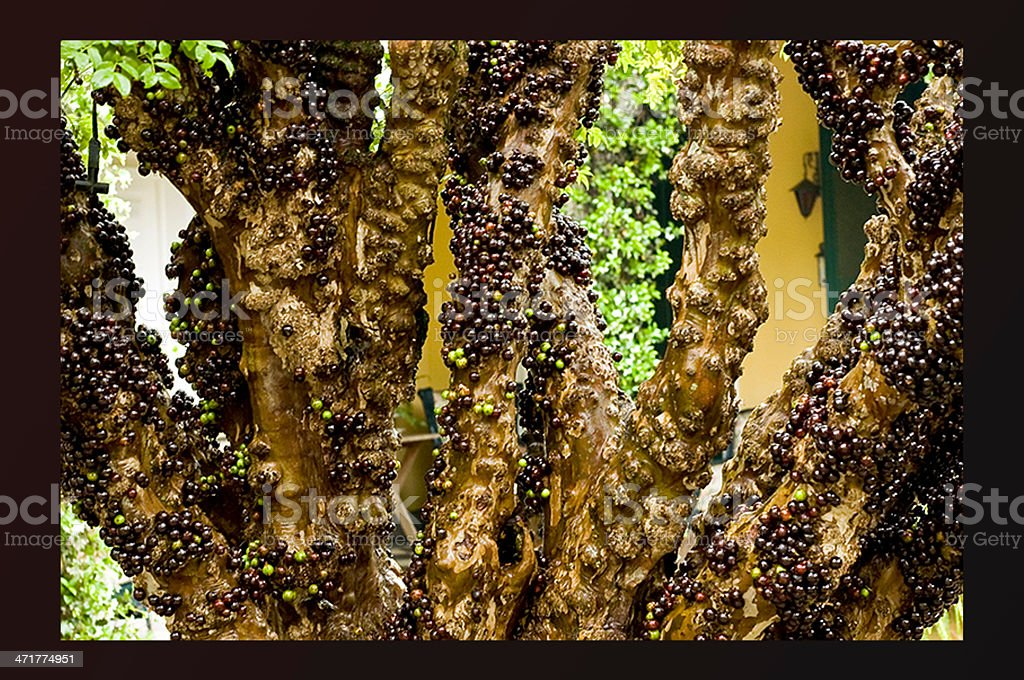 jabuticaba royalty-free stock photo