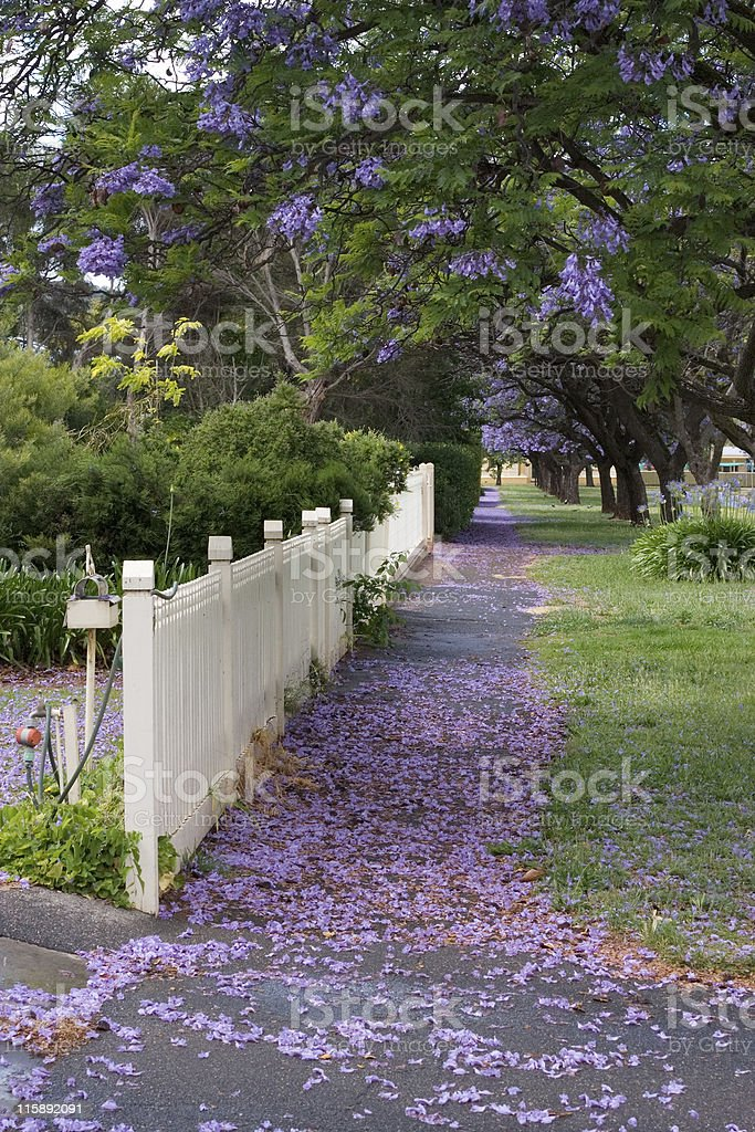Jacaranda carpet royalty-free stock photo