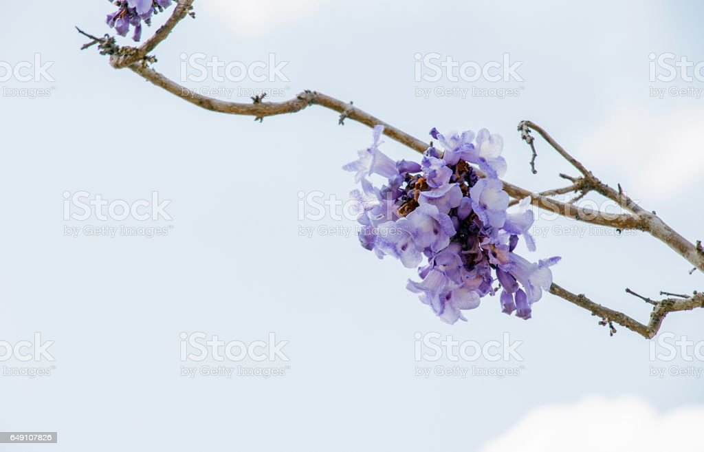 Jacaranda flower is on blue sky background. stock photo