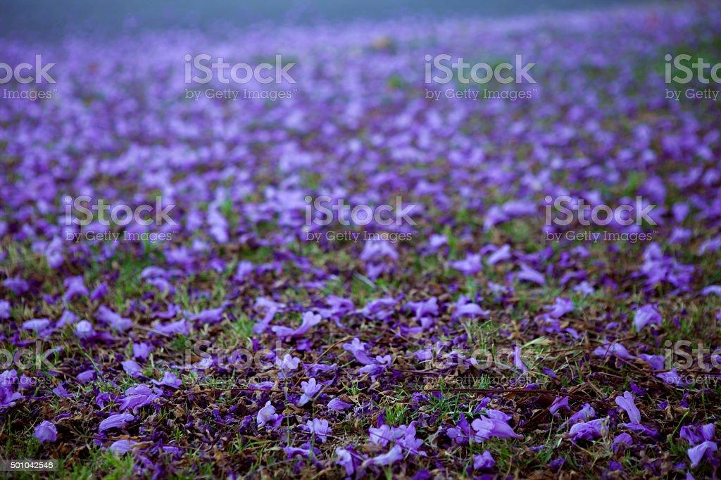 Flores de jacarandá foto royalty-free