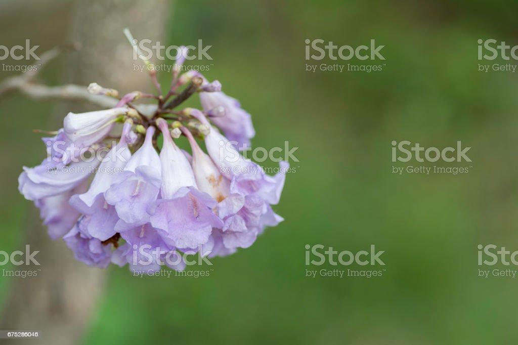 Jacaranda flowers on a background blur stock photo