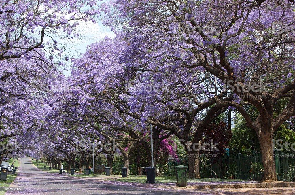 Jacaranda Lane stock photo