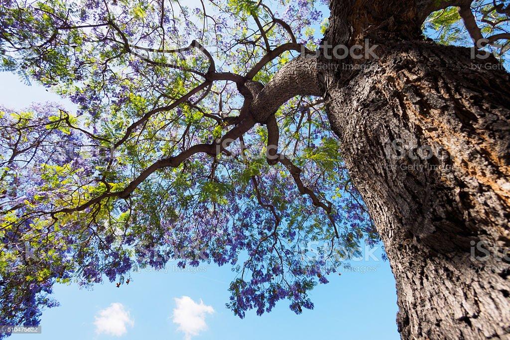 jacaranda tree and bloom stock photo