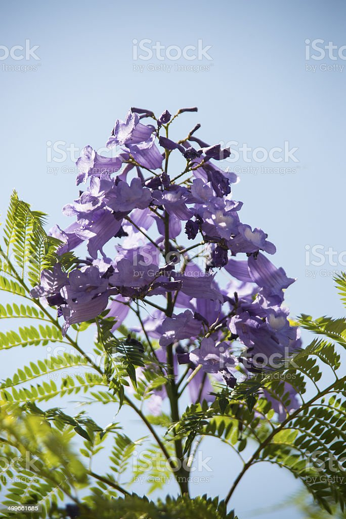 Jacaranda tree blossom royalty-free stock photo