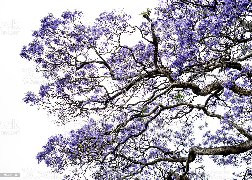 Jacaranda tree branches and flowers stock photo