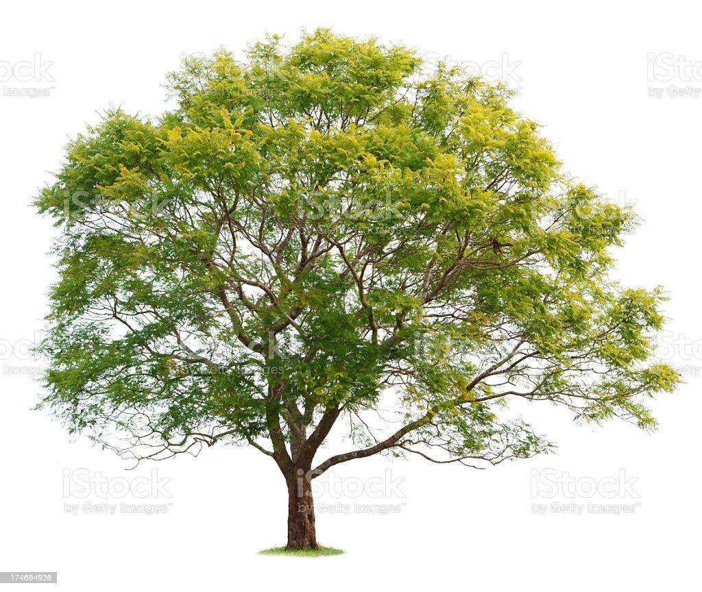 Jacaranda Tree royalty-free stock photo