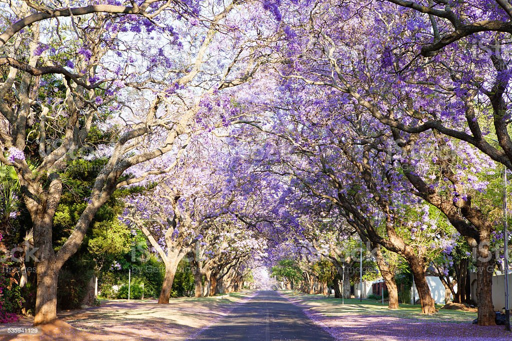 Jacaranda tree-lined street in South Africa's capital city stock photo