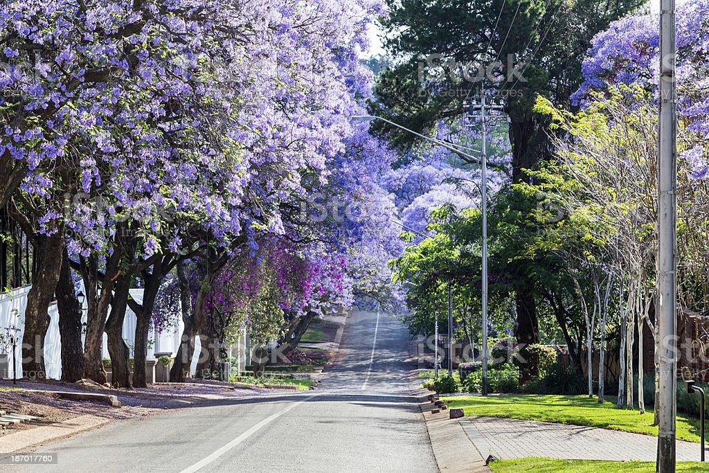 Jacaranda Trees in Pretoria stock photo