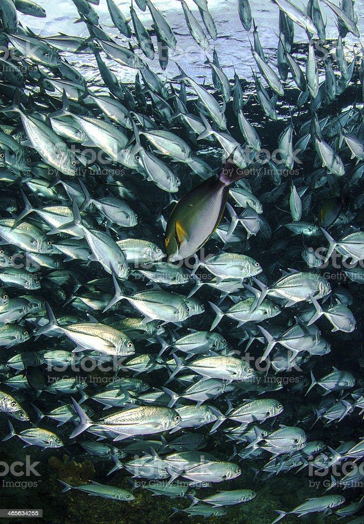 Jack Fishes royalty-free stock photo