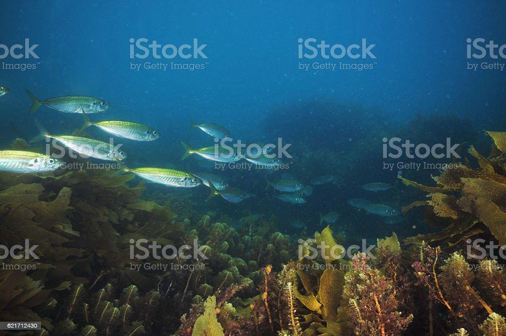 Jack mackerels in sea weeds stock photo