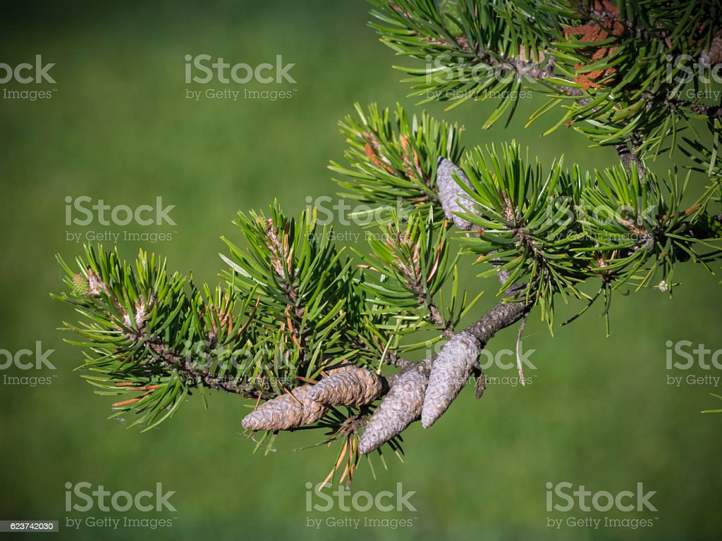 Jack pine branch stock photo