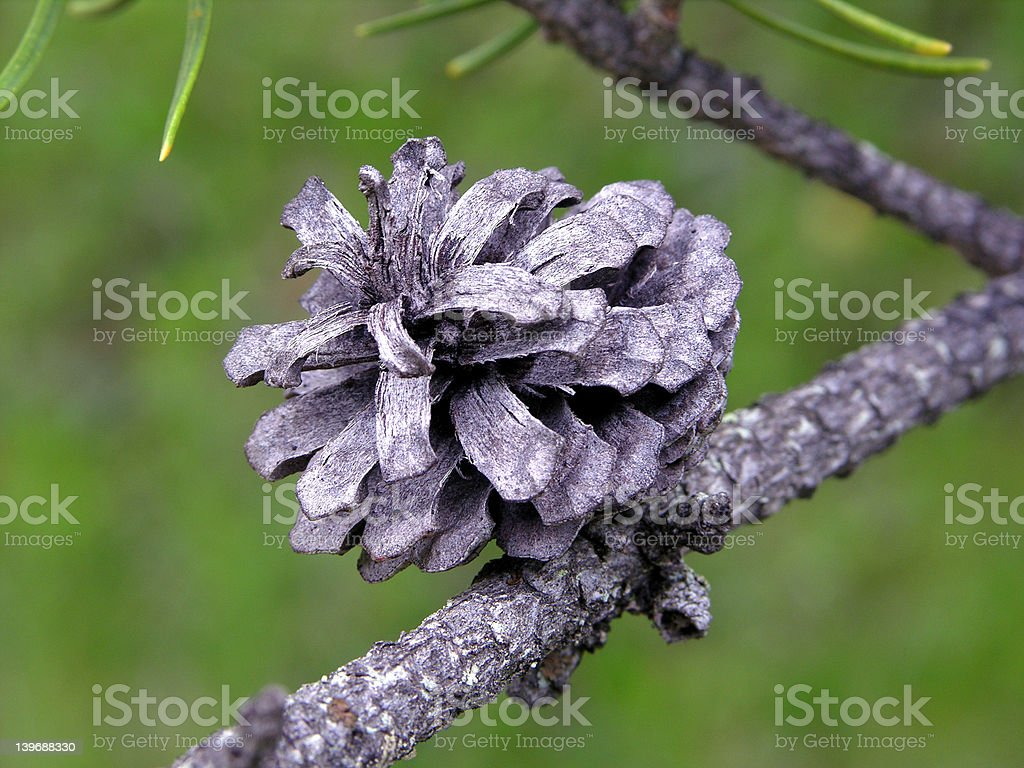 Jack Pine Seed Cone royalty-free stock photo