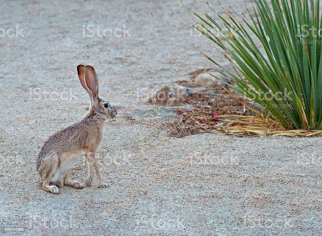Jack Rabbit stock photo