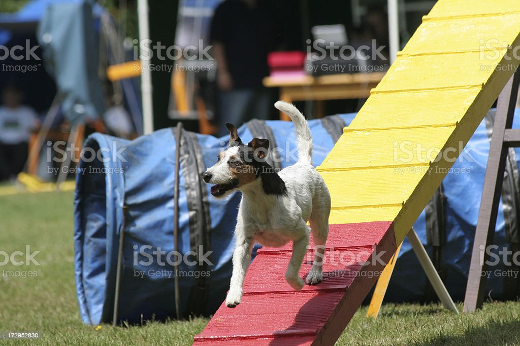 Jack Russel does agility. stock photo