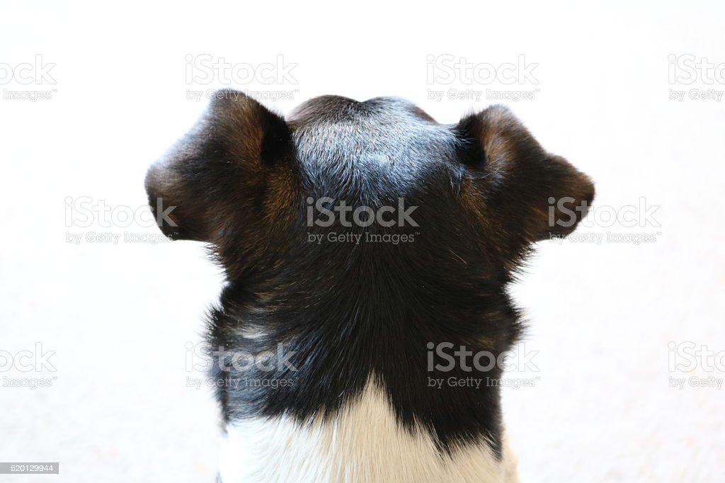 Jack Russel on Duty stock photo