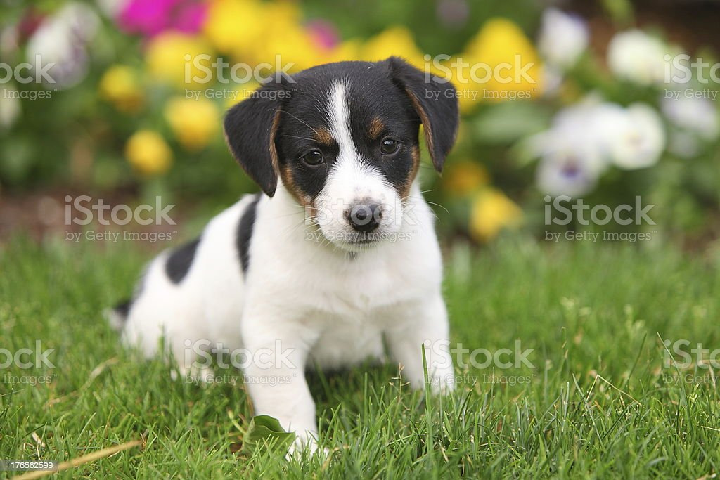 Jack Russel puppy sitting in grass royalty-free stock photo