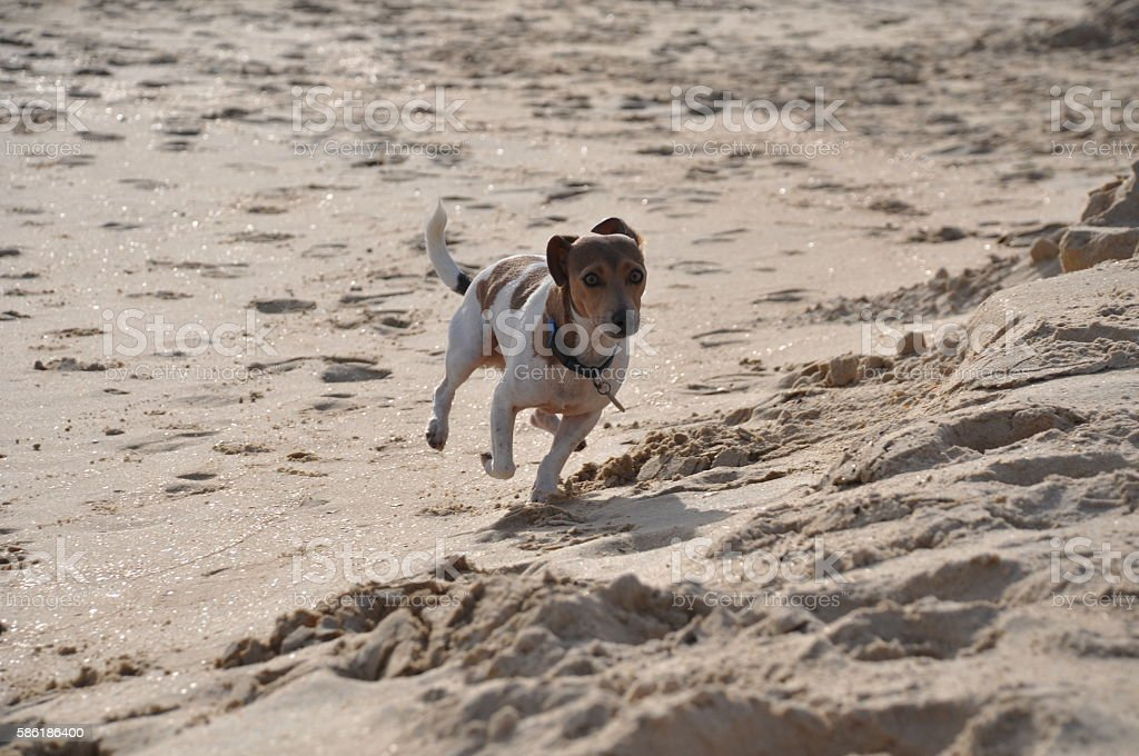 Jack Russel running at the beach stock photo