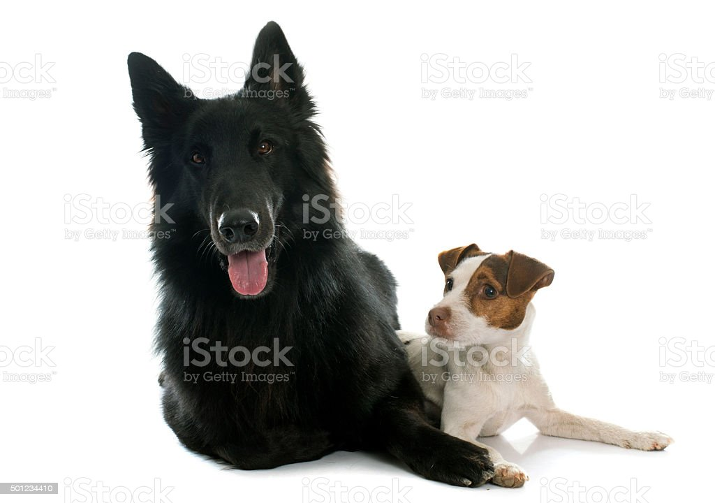 jack russel terrier and Groenendael stock photo