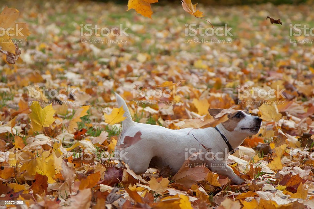 Jack Russel Terrier royalty-free stock photo
