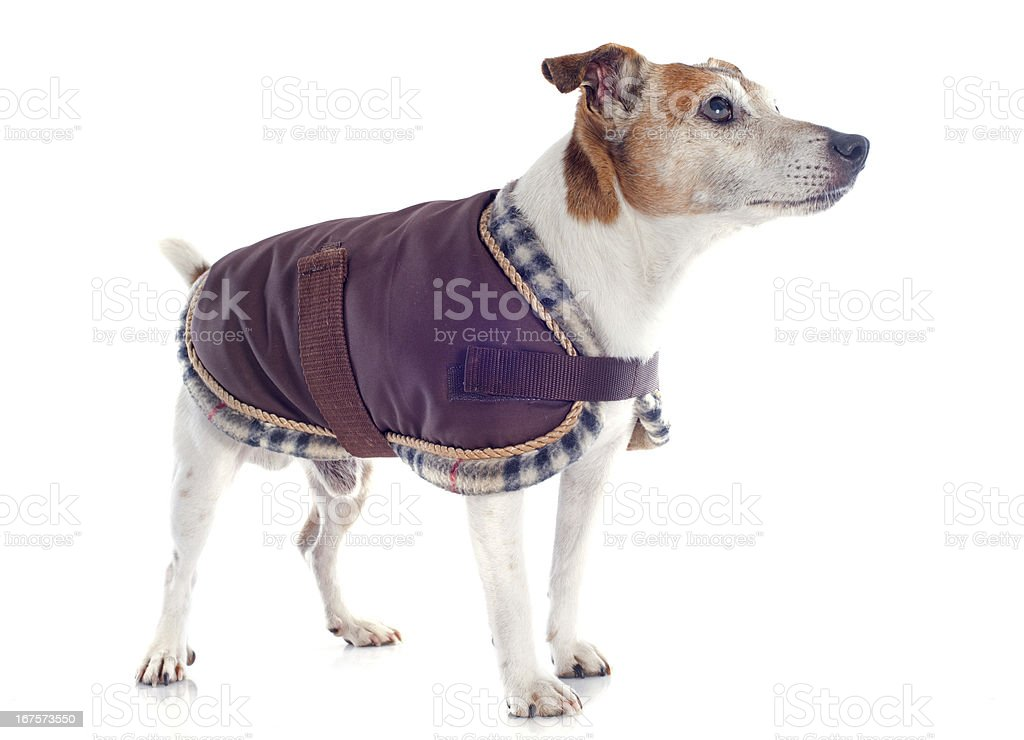 jack russel terrier with coat royalty-free stock photo
