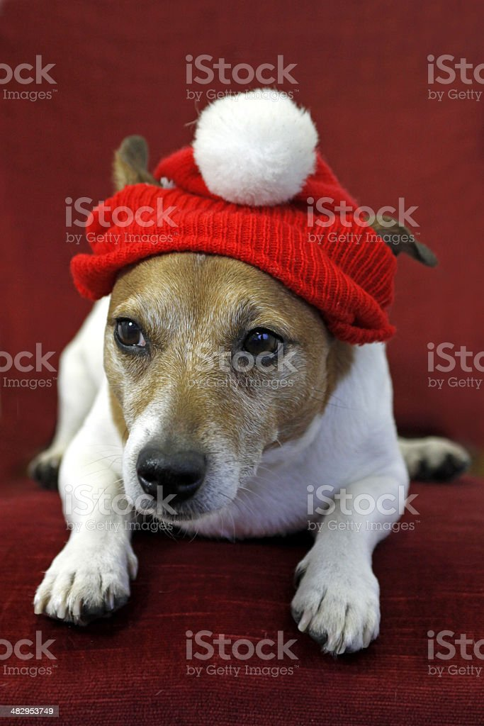 Jack Russel Terrier with red cap stock photo