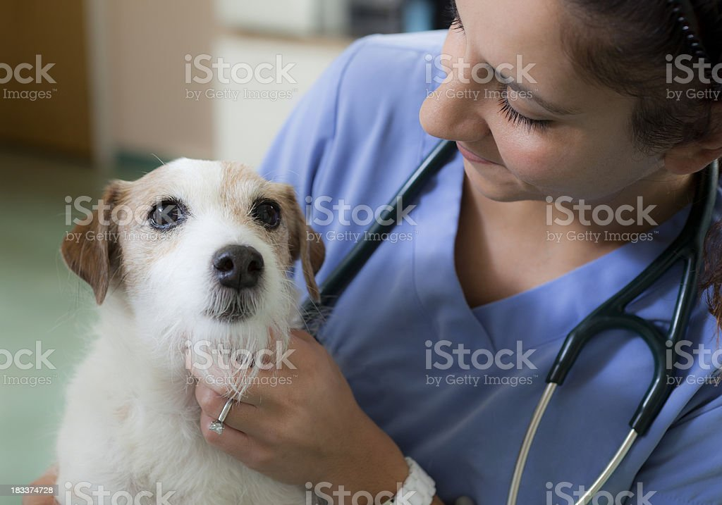 Jack Russell Comforted by Veterinarian in Animal Hospital stock photo