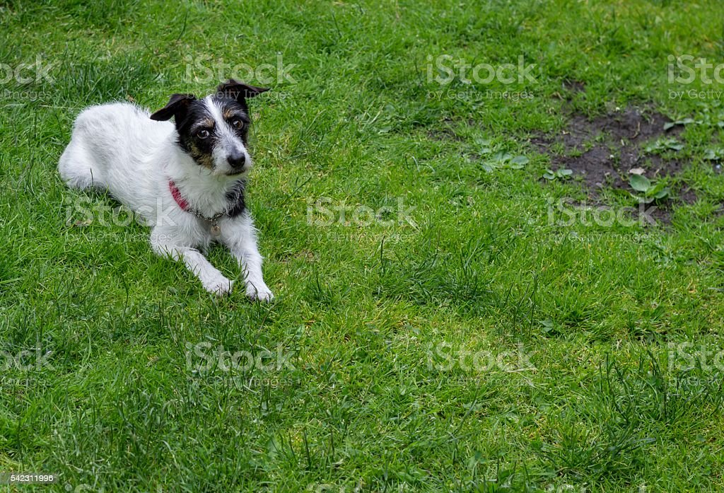 Jack Russell cross dog. Bald patch on lawn. Copy space. stock photo