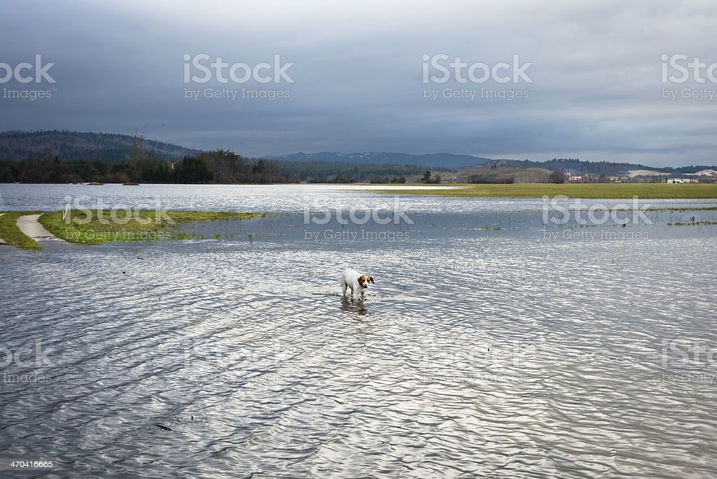 Jack Russell Crossing Flooded Fields in Slovenia royalty-free stock photo