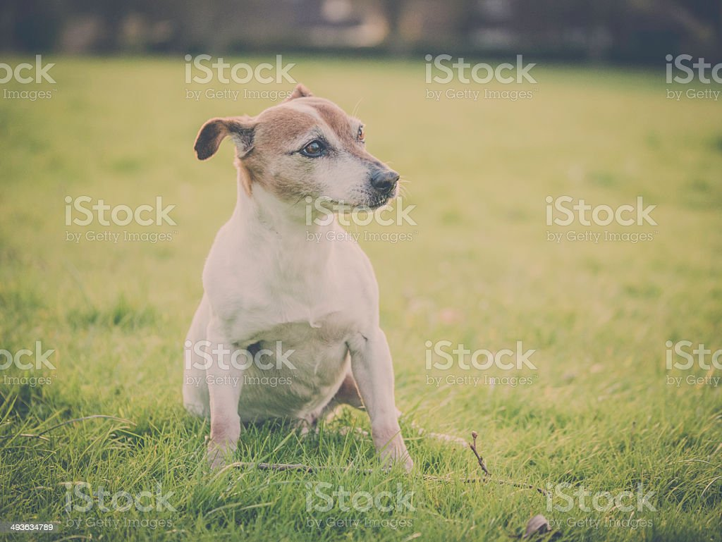 Jack Russell dog in the park stock photo