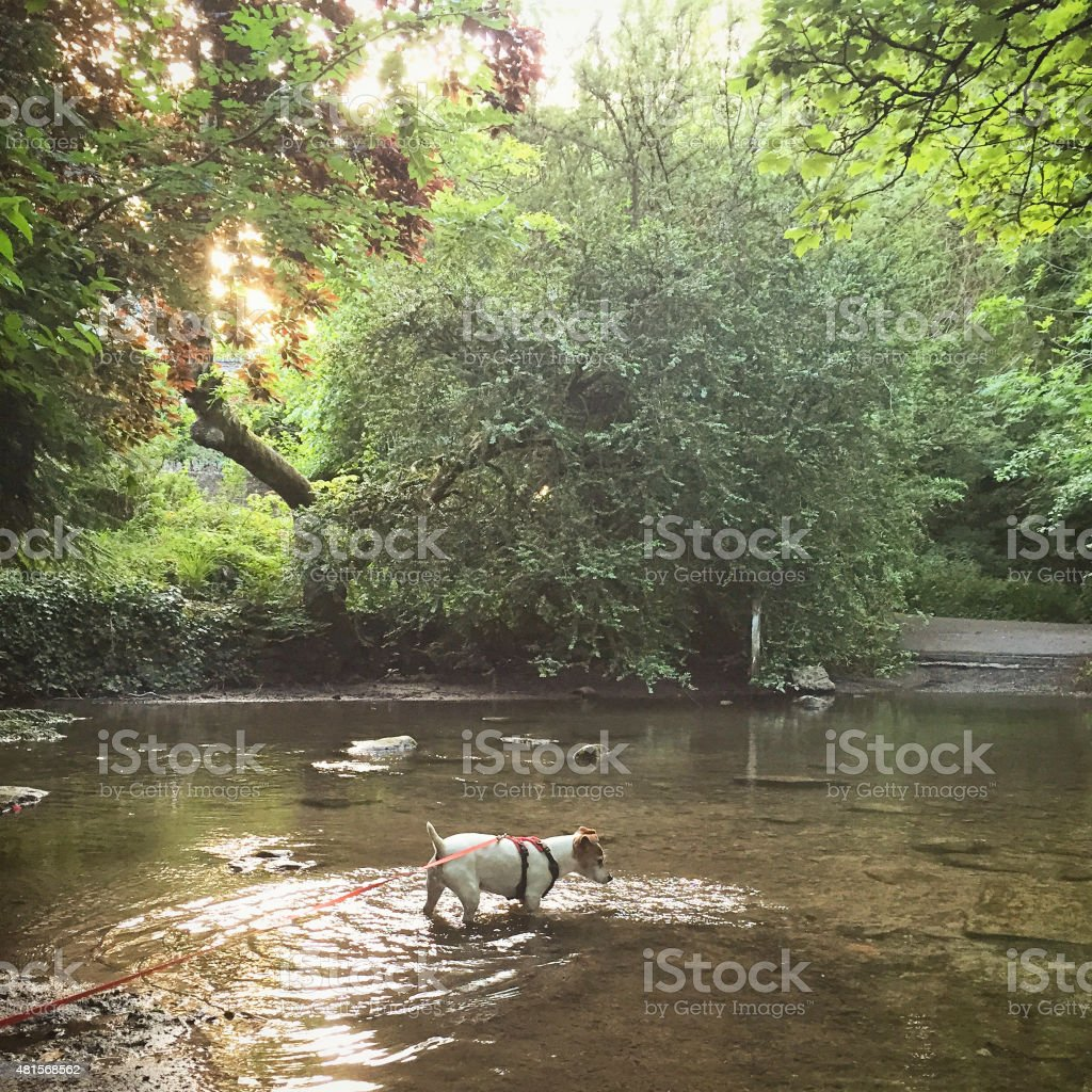 Jack Russell dog on lead walking in a stream. stock photo