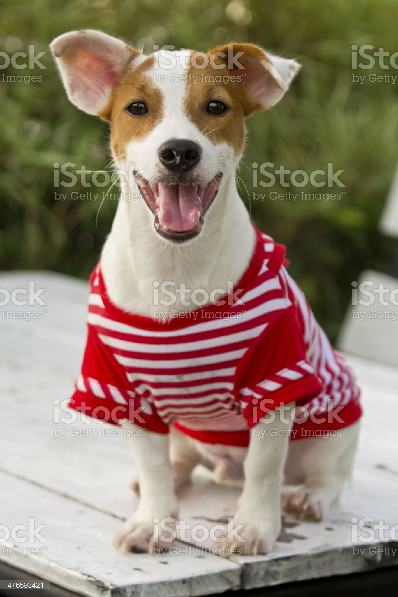 Jack Russell dog. royalty-free stock photo