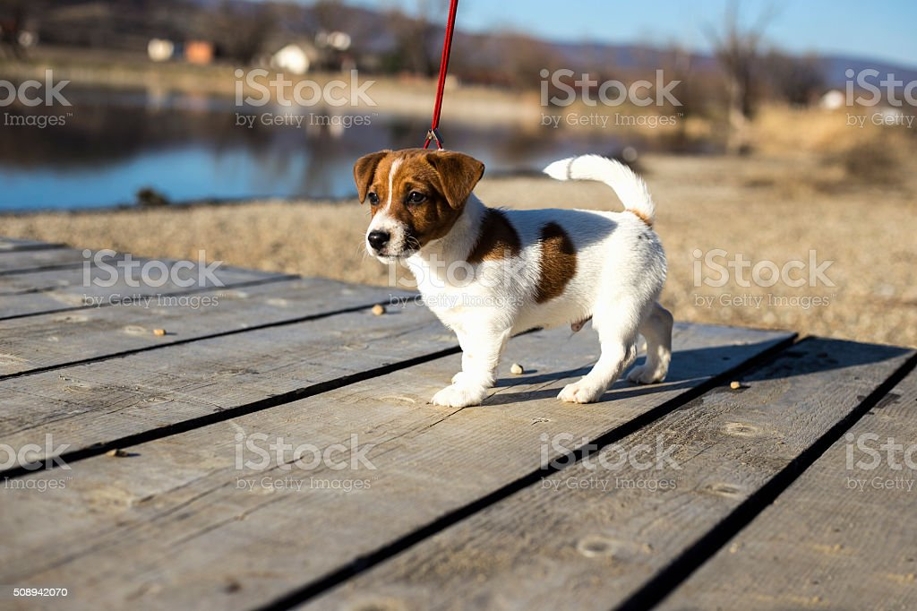 Jack Russell, dog, puppy stock photo