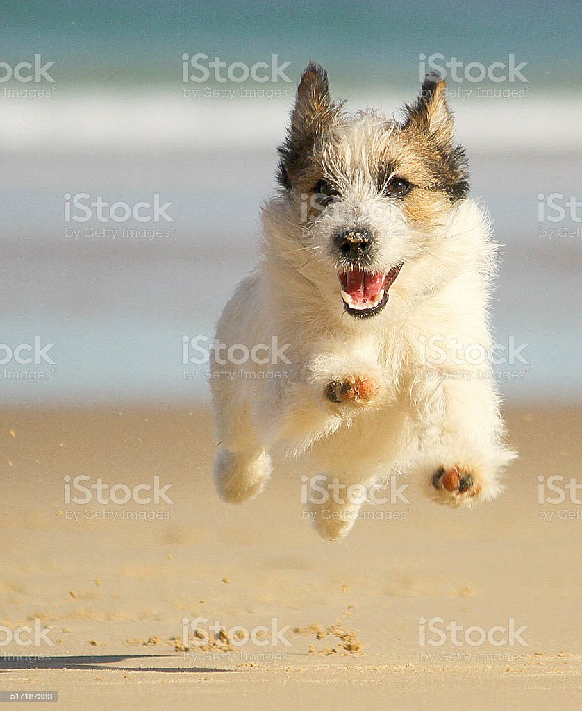 Jack russell dog running at the beach and smiling stock photo