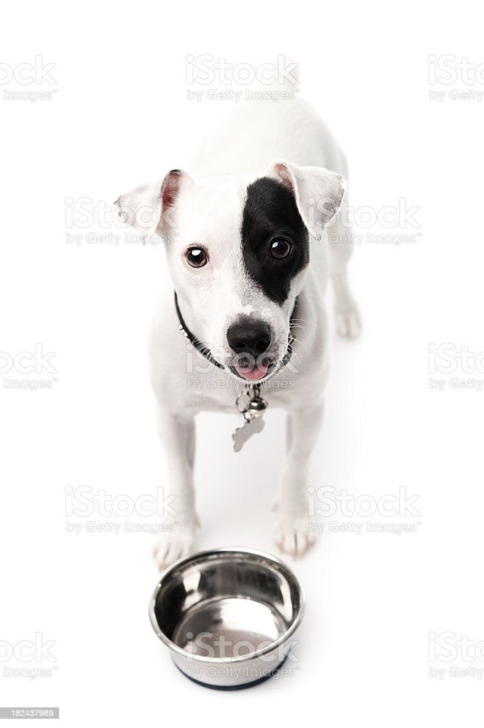 Jack russell looking at the camera stock photo