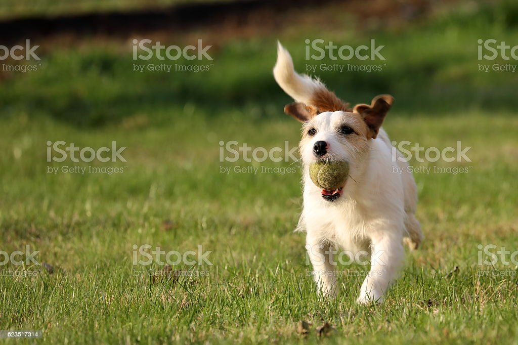 Jack Russell Parson Terrier Hunter Dog stock photo