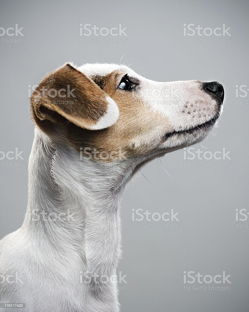 Jack Russell paying attention stock photo